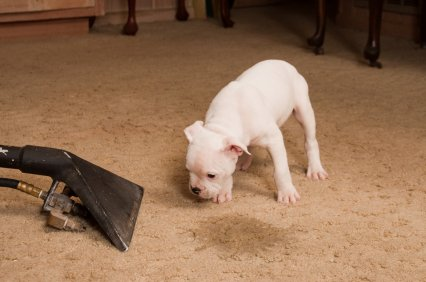 Carpet Cleaning Orlando FL - Commercial, Hotel Carpet Cleaning Services - All Clean Carpet & Upholstery Inc - carpet_pet_stain